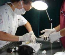 Cirugía estética para mascotas